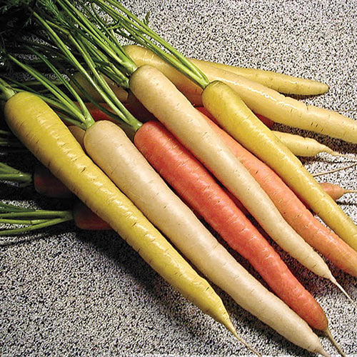 Rainbow Hybrid Carrot Seed