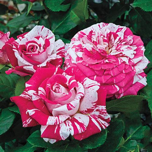 Neil Diamond Hybrid Tea Rose