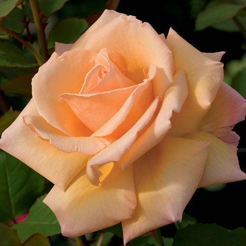 Over the Moon™ Hybrid Tea Rose