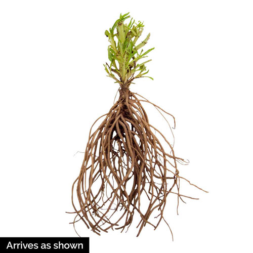 Red Penstemon Plant