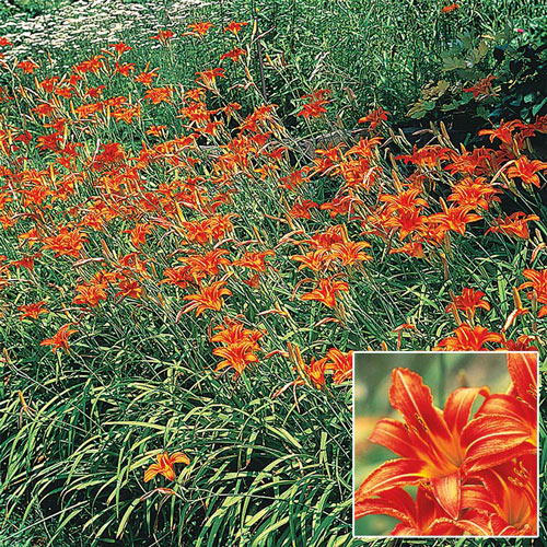 Daylilies for Naturalizing