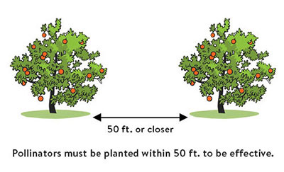 Apple Trees Cross Pollinate