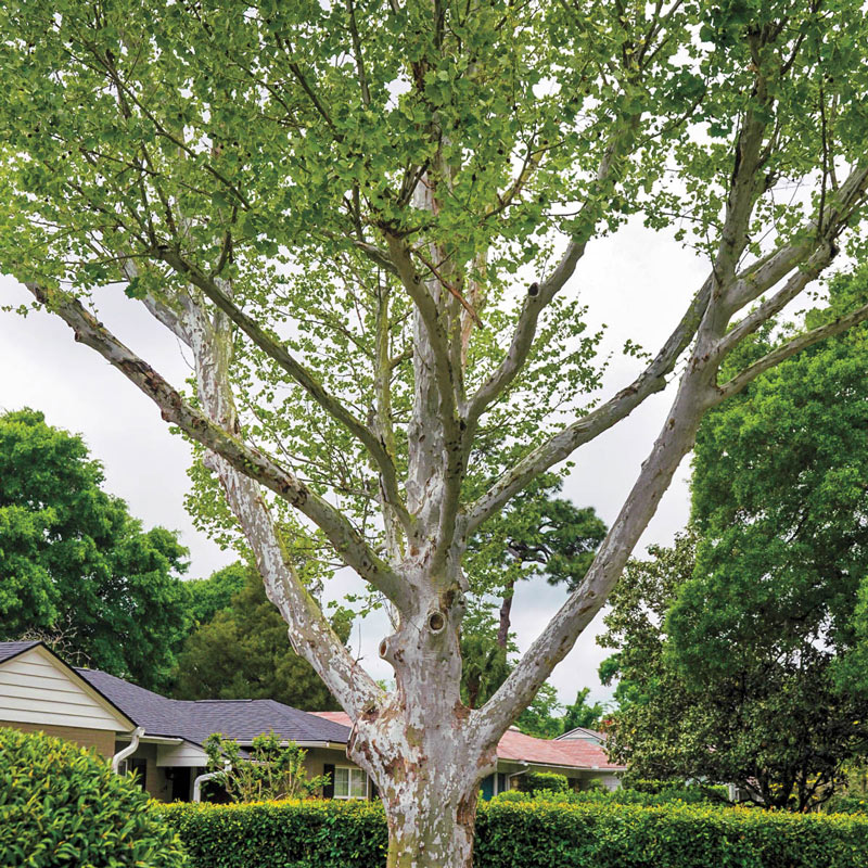 the north american sycamore tree Any of various deciduous trees of the genus platanus, especially p occidentalis  of eastern north america, having palmately lobed leaves, ball-like, nodding,.