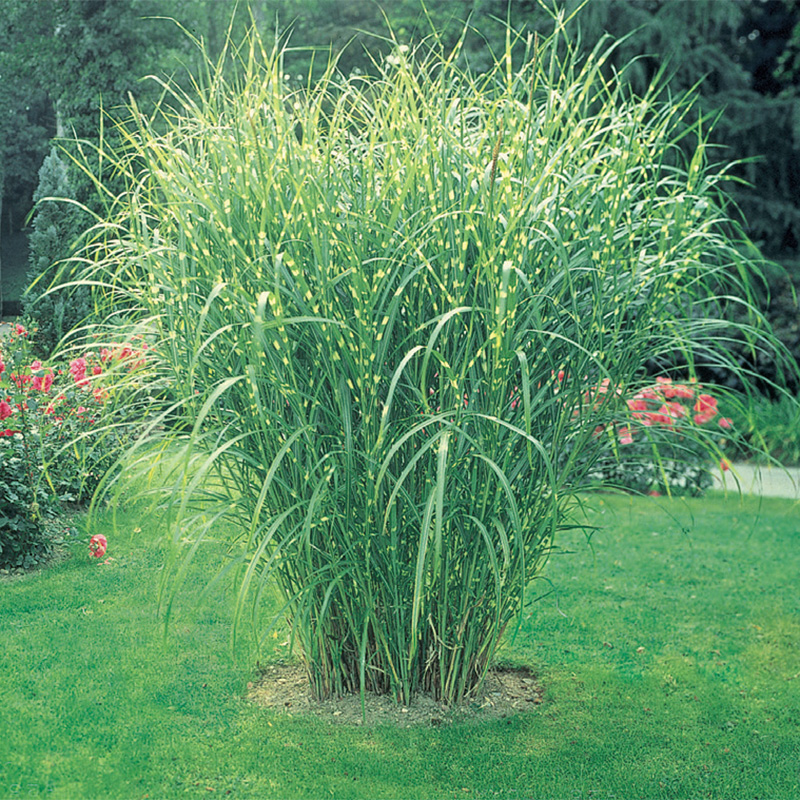 Zebra grass henry field 39 s seed nursery co for Tall ornamental grasses that grow in shade