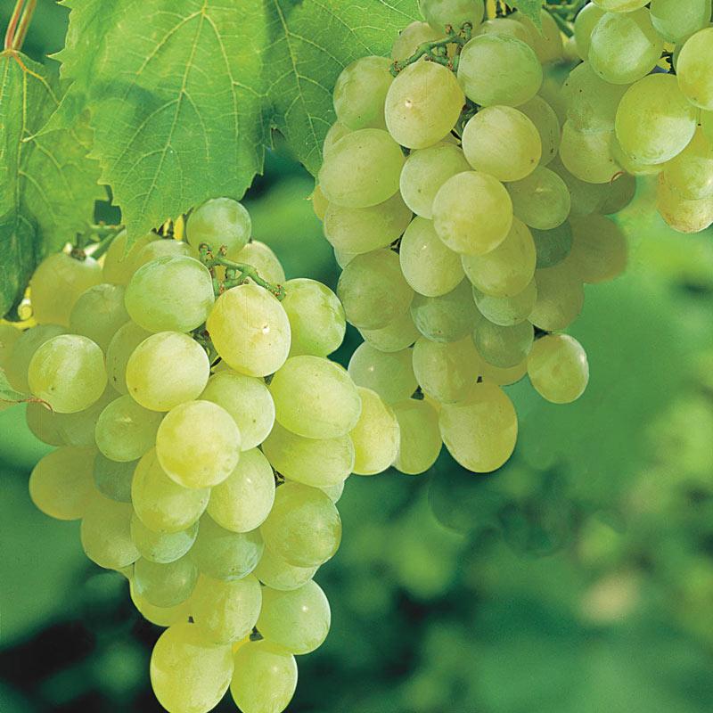 Seedless Thompson Grape Henry Field S Seed Amp Nursery Co