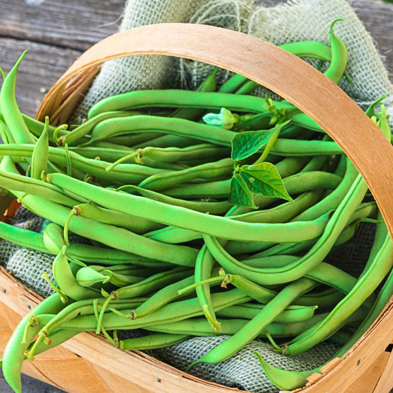 Early Contender Bush Beans Henry Field S Seed Amp Nursery Co