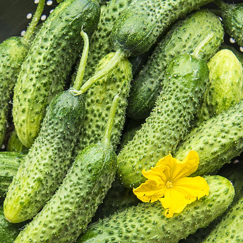 40 Shipping Container >> Miss Pickler Hybrid Pickling Cucumber | Henry Field's Seed ...