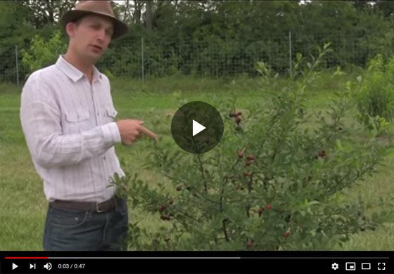 Carmine Jewel Dwarf Cherry Tree First Fruit Video