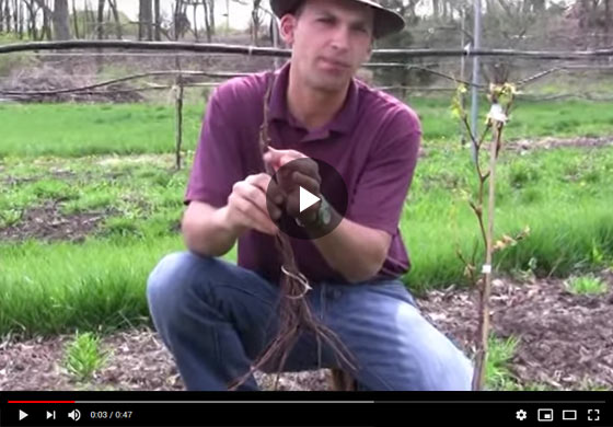 Difference Between Bareroot Grape Plant and New Wow Fruit Now Video