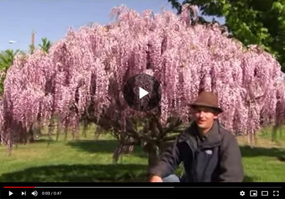 How To Grow Wisteria Vine As A Tree Video Gurney S Seed And Nursery