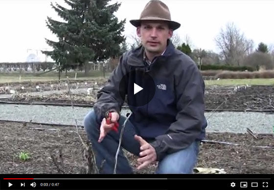 How to Prune Tree Peonies in Late Winter, Early Spring Video