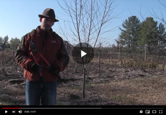 How to Prune a Medium-Size Peach Tree Video