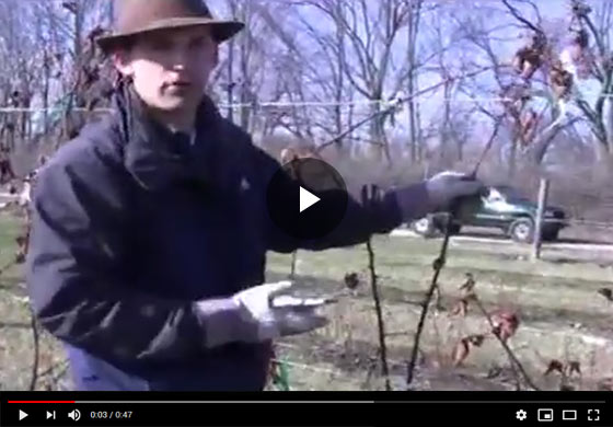 How to Prune and Care for Blackberry Plants in Early Spring Video