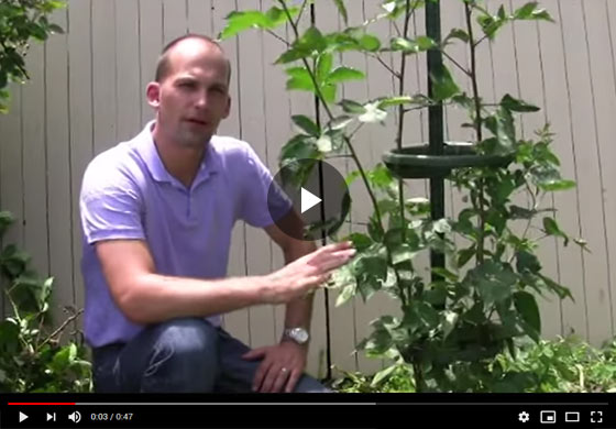 How to Use the Easy Pickin's Blackberry Trellis Video