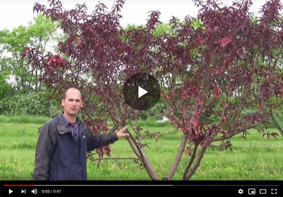 Overgrown Peach Tree Pruning Success Video