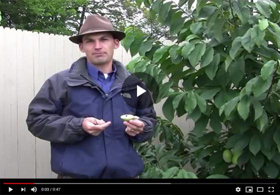 Pawpaw Seed Germination Video