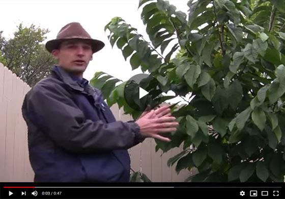Pawpaw Trees Video