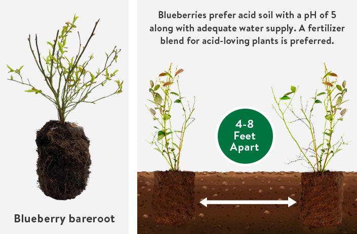 Blueberries bareroot