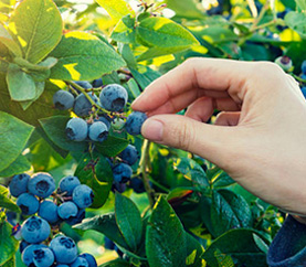 blueberry fruiting season