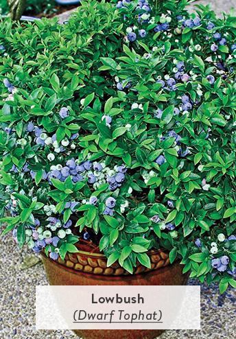 Lowbush Blueberry