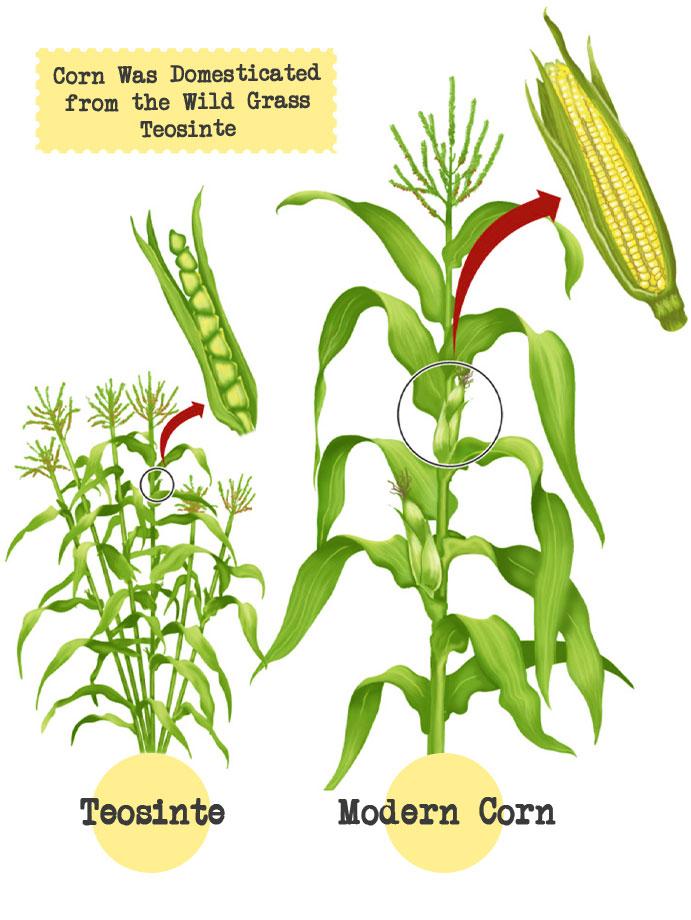 A Brief Corn History