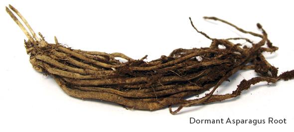 Dormant Asparagus Root