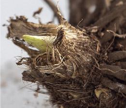 Dormant Perennial Roots