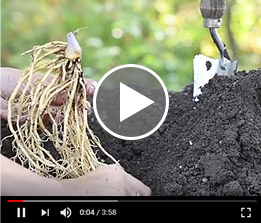 Dormant Perennial Roots Planting Guide Video