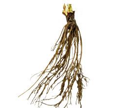 Strawberry Root