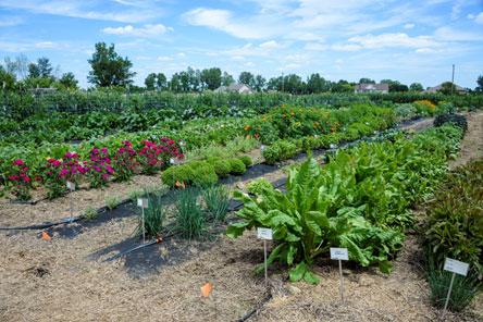 Vegetable garden at the Gurney's Farm