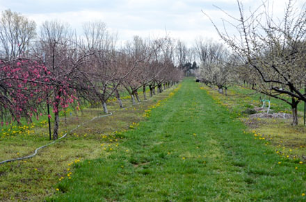 The first signs of spring at the Gurney's Farm orchard