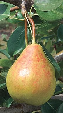 Fire Blight Pear