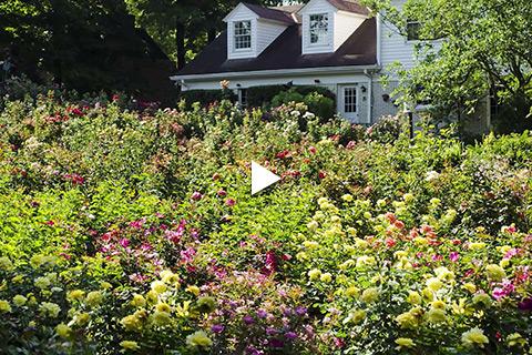 Bareroot Rose - Site Prep