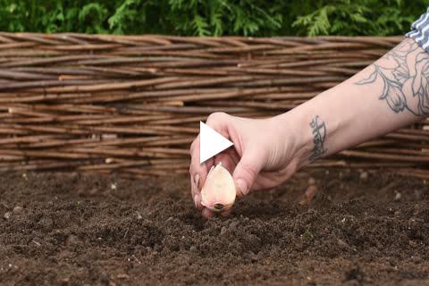 Garlic - Planting
