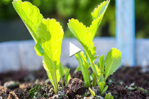 Horseradish - Planting