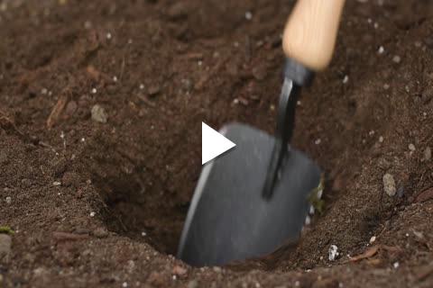 Onion Plants - Planting