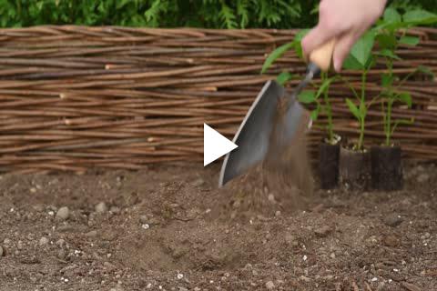 Pepper Plants - Planting