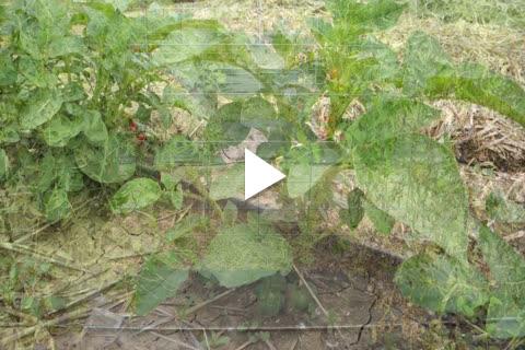 Potatoes - Plant Care