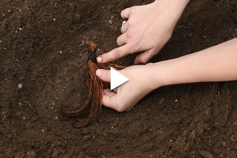 Strawberry Bareroot - Planting