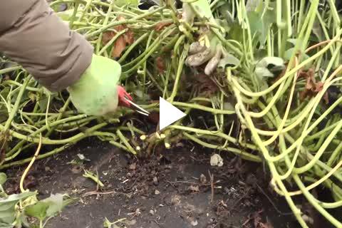 Sweet Potato Slips - Harvesting