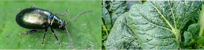 Potato flea beetles