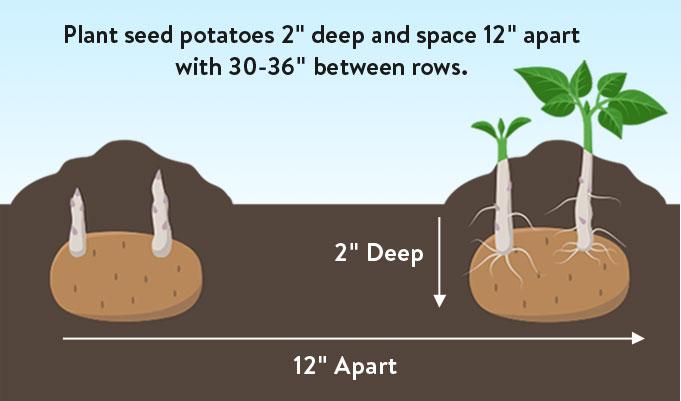 Plant seed potatoes