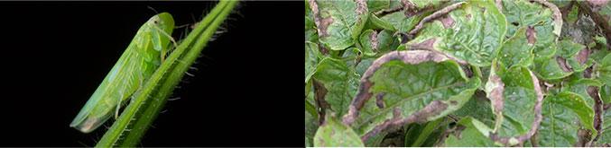 Potato Leaf Hoppers