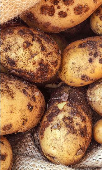 Potato Scabs