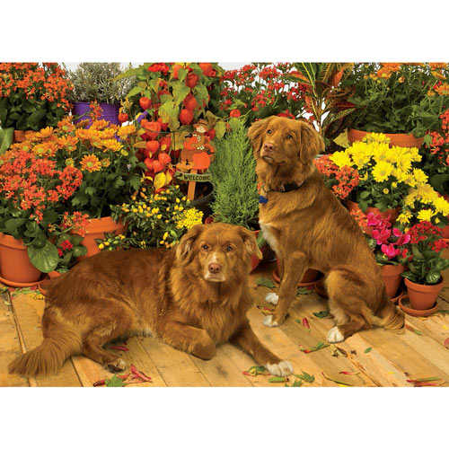 Duck Tollers 1000 Piece Jigsaw Puzzle