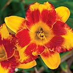 Adorable Tiger Daylily