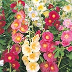 Country Mix Hollyhocks