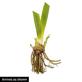 Feed Back Reblooming Iris