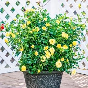 Lemon Drop Miniature Rose