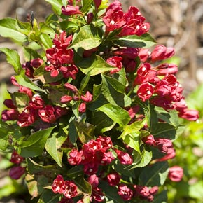 Sonic Bloom<sup>®</sup> Red Weigela